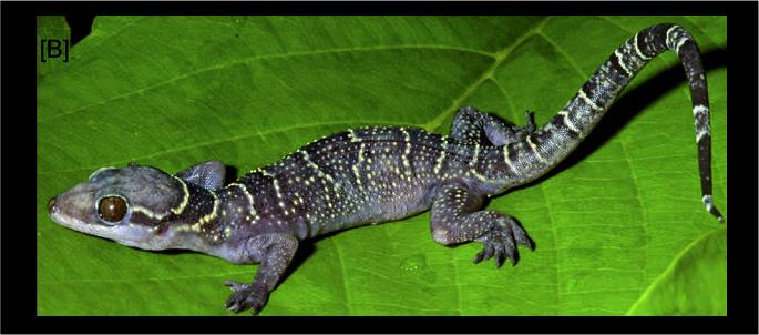 hemidactylus_wagnerp_2014